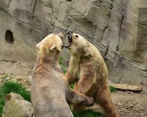 Bear Challenge